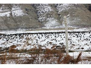 Karda yiyecek bulamayan sığırcıklar yerleşim alanlarına indi