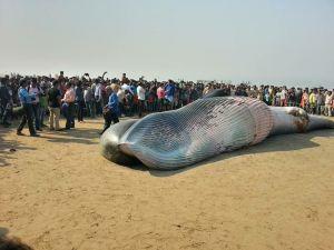 Hindistan'da halk karaya vuran ölü balinayı görmek için sahile akın etti