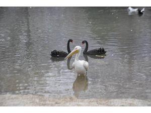 Yiyecek Bulamayan Pelikan Kuğulu Park'a Bırakıldı