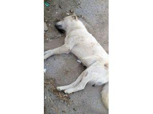 Sekiz Köpeği Zehirleyen Sanık Beraatini İstedi