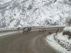 Dağ Keçileri Karayolunu İşgal Etti