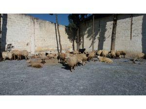 Tarsus'ta ihtara uymayan kamyonda 70 koyun ele geçirildi