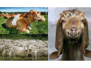 Türkiye'de Büyükbaş Hayvan Sayısı Bir Önceki Yıla Göre Yüzde1,5 Azalırken Küçükbaş Hayvan Sayısı İse Yüzde 1,1 Arttı
