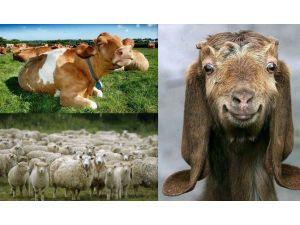 Düzce'de 52 Bin 90 Sığır, 12 Bin 994 Koyun, 864 Keçi Var