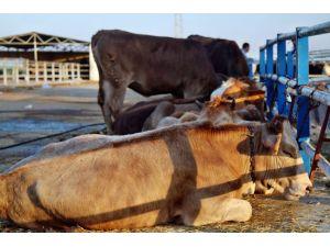 Kırşehir'de 'şap hastalığı karantinası' sona erdi