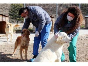 Saf Kan Köpekler Sahiplenilmeyi Bekliyor