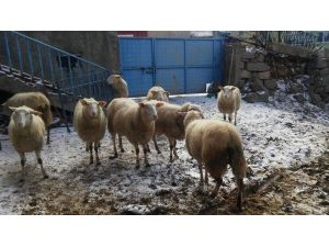 Mars Koyunu Merakı Almanya'dan Kırşehir'e Getirdi