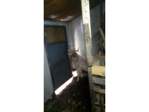 Kapı çalınca açan keçi ilgi odağı oldu