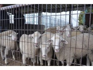 Şap Karantinası Sona Erdi, İnegöl Hayvan Pazarı Yeniden Açıldı