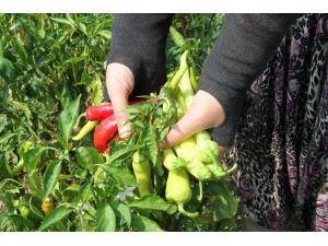 Ürünlü biberi Kent Bostanlarında organik üretilecek