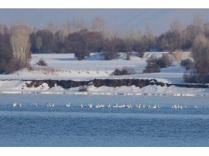 Kuğular, Van Gölü'ne Geldi