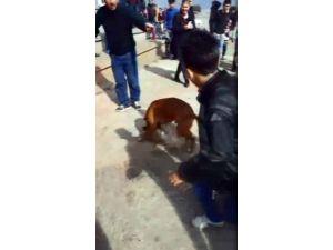 Boxer Cinsi Köpek Dehşet Saçtı