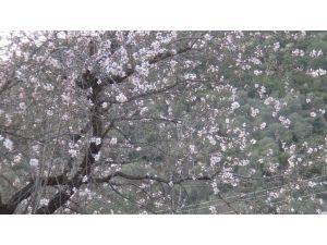 İzmir'de badem ağaçları çiçek açtı