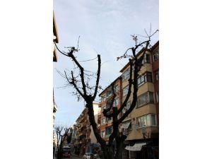 Yalova'da Ağaçlar Yalancı Bahara Kandı