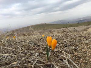 İlkbaharın müjdecisi çiğdemler çiçek açtı