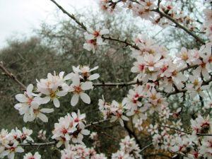 Badem ağaçları şubat ayında çiçek açtı