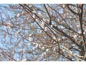Sakarya'da Ağaçlar Şubat Ayında Çiçek Açtı