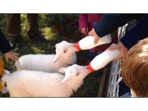 Öksüz Kalan İkiz Kuzulara Evinde Bebekler Gibi Bakıyor
