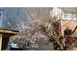 Kulp'ta Badem Ağaçları Çiçek Açtı