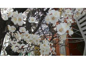 Ağaçların Erken Çiçek Açması Üreticiyi Tedirgin Etti