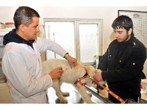 Mamak'ta Kuduz Aşısı Kampanyası Başladı
