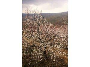 Sıcak havaya aldanan kayısı ağaçları 15 gün erken çiçek açtı