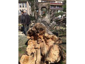 Giresun'da Çürüyen Asırlık Ağaçlar Tehlike Saçmaya Devam Ediyor