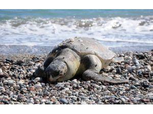 Ölü Caretta Caretta Sahile Vurdu