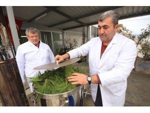 Çam Yaprakları, Orman Köylüsüne Para Kazandıracak