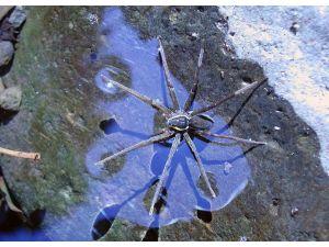 Yeni keşfedilen yüzen örümcek, avını sudaki titreşimden fark ediyor