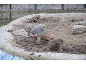 Maymunlar İş Başında