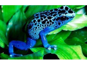 Dünyanın En Zehirli Minik Kurbağaları, Aqua Vega Akvaryumunda Sergileniyor