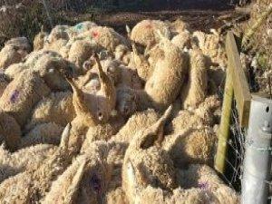 Köpeklerin Kovaladığı 116 Koyun Şok Geçirip Öldü