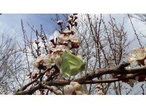 Iğdır'da Kayısı Ağaçları Çiçek Açtı