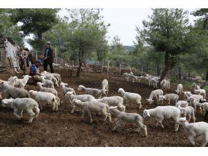 Koyun ve keçilerde çipli dönem