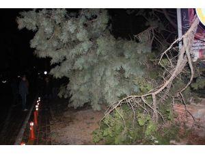 Ilgaz'da Şiddettli Rüzgar Yarım Asırlık Ağacı Yerinden Söktü