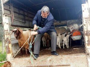 Hayvan Hırsızı Zeytin Tarlasında Uyurken Yakalandı