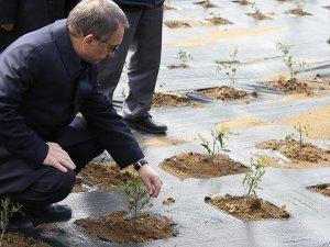 Çay bahçeleri için 'gen havuzu' projesi