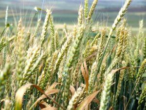 Buğdayda Pas Ve Küllenme Uyarısı