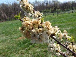 TZOB: 36 ildeki meyve ağaçlarını zirai don etkiledi