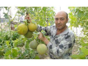 Mersin'de Kavun Hasadı Başladı