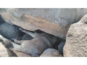 Sıkıştığı taşların arasında mahsur kalan sıpa kurtarıldı