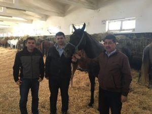 Sultansuyu TİGEM'de Tay Seçimleri Yapılıyor