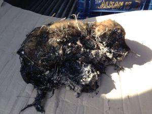 Zifte yapışan yavru köpeği itfaiye ekipleri kurtardı