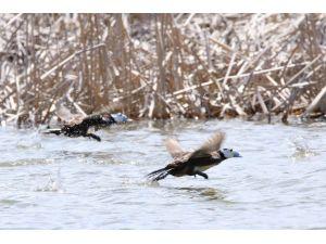 Erçek Gölü Havzası; Türkiye'deki 450 Kuş Türünün 350'sini Barındırıyor