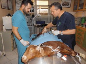 Yavrusu karnında ölen anne keçi, sezeryanla telef olmaktan kurtarıldı