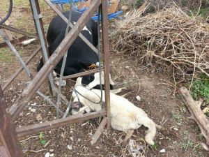 Elektrik Akımına Kapılan Hayvanlar Telef Oldu