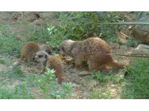 Yavru Mirketler Hayvanat Bahçesinin Yeni Gözdesi