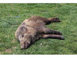 Yaralı Yaban Domuzu Koruma Altına Alındı