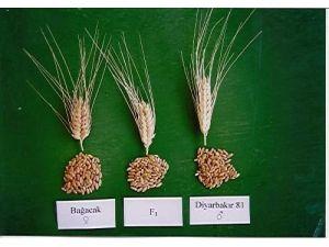 DÜ Ziraat Fakültesi'nde 2 Yeni Tohum Çeşidi Daha Geliştirildi